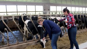 Two students pet cows in their pens