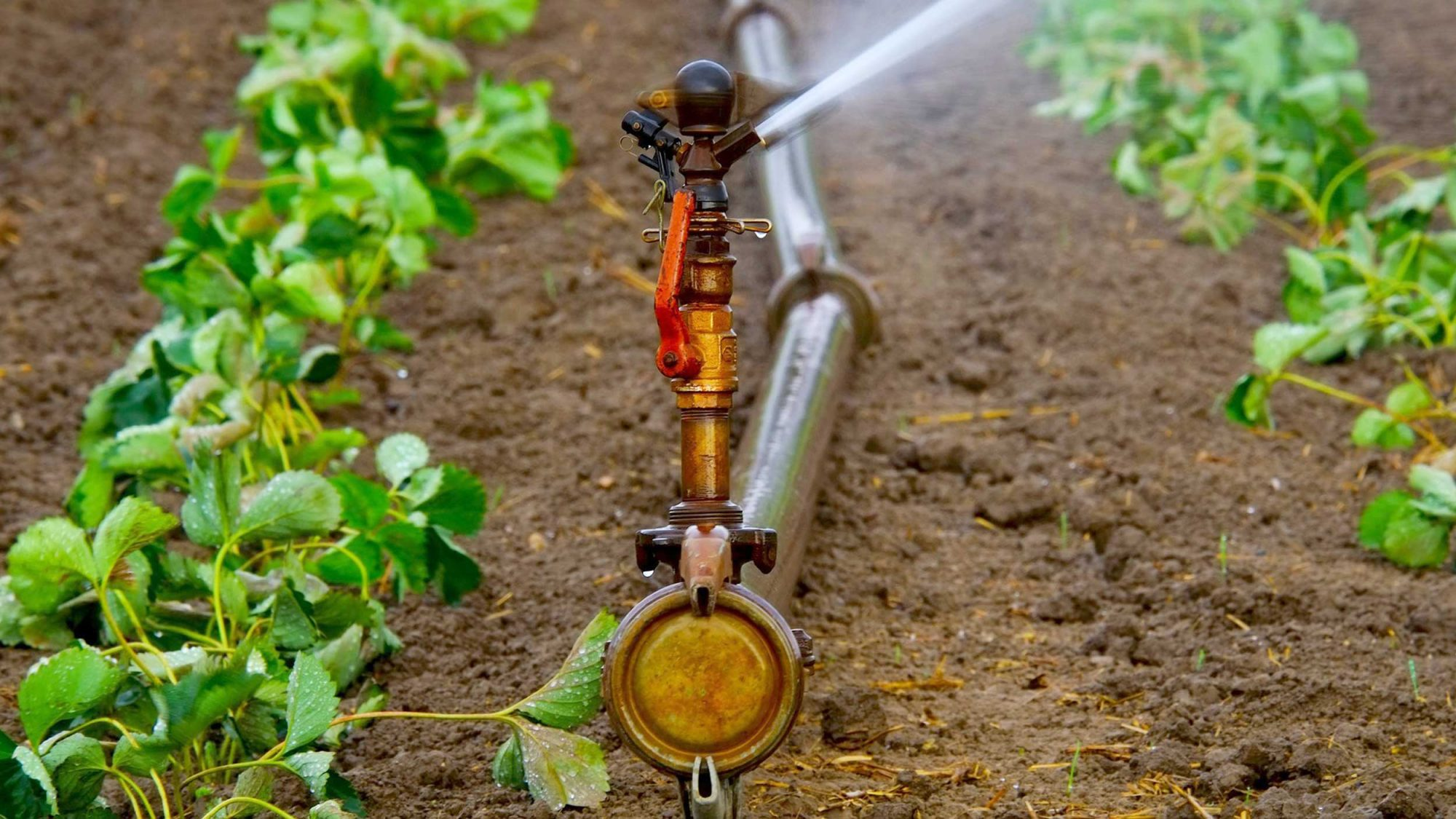 Strawberries being irrigated with water