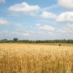 Photo of wheat field near Elora Beef Research Station