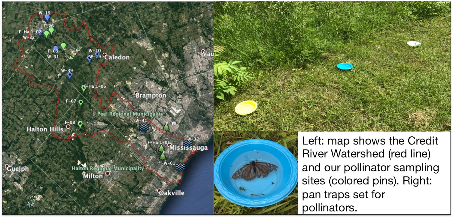 This is an image showcasing the Credit River Watershed, pollinator sampling sites and pan traps for pollinators. On the left is the Credit River Watershed with a red line tracing the area - it goes from the shoreline of Lake Ontario in Oakville and around Mississauga, west to Halton Hills and Caledon. On the upper right are the pollinator sampling sites with coloured pins on green grass. Below that is a pollinator inside a pollinator trap.