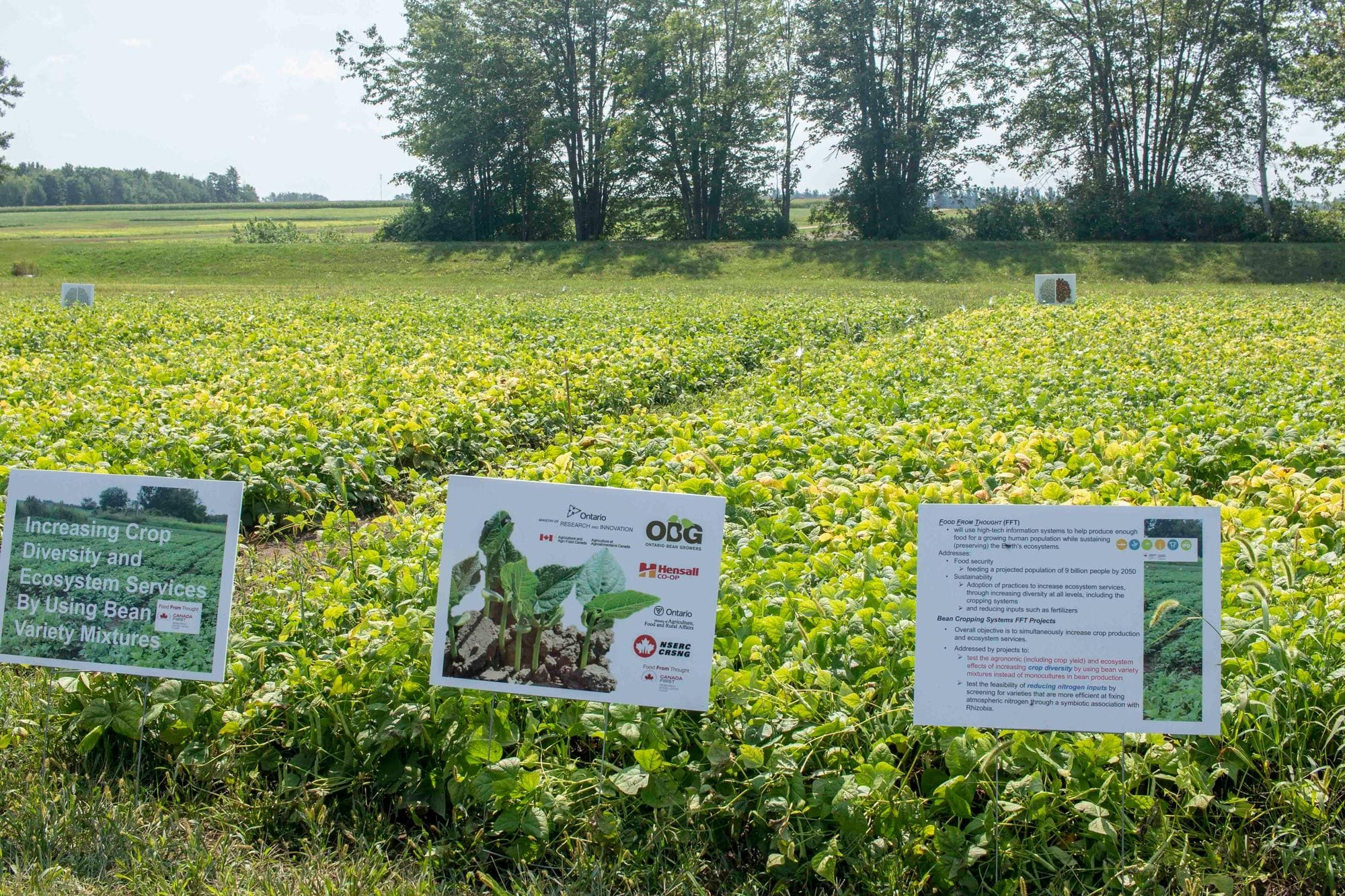 Bean variety mixture trial at Elora Research Station
