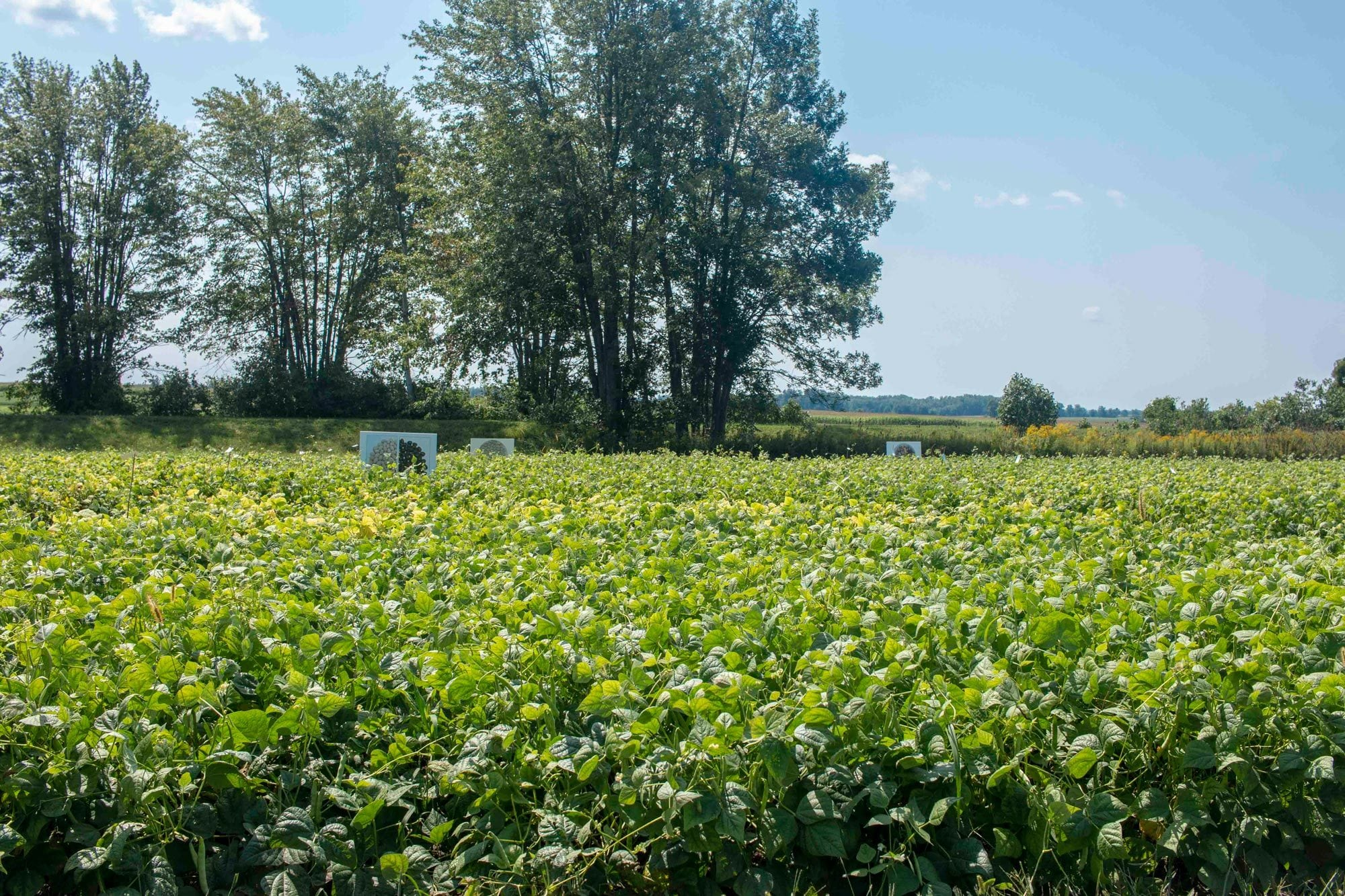 A research trial using bean variety mixtures to increase crop diversity and ecosystem services at Elora Research Station.