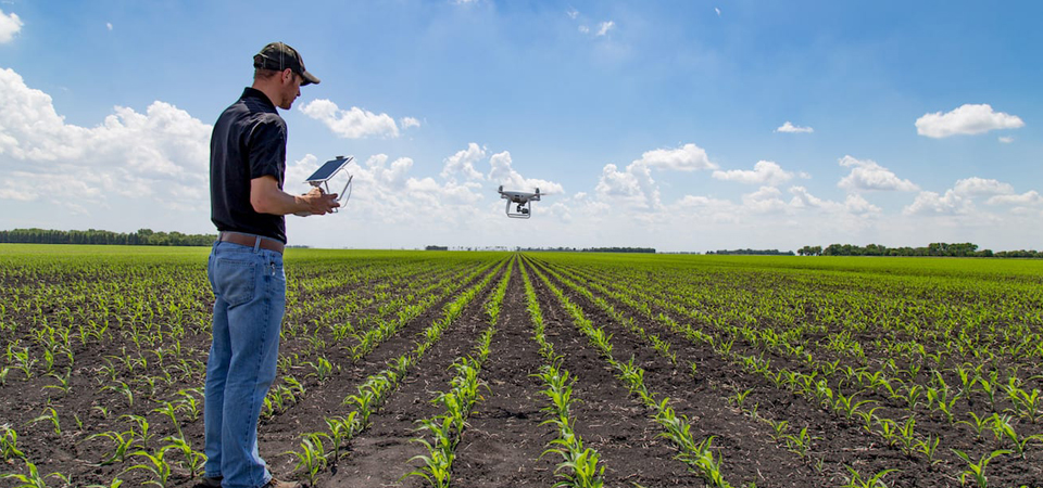 Man standing in young corn field flying drone on sunny day